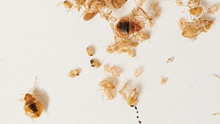 young bed bug picture