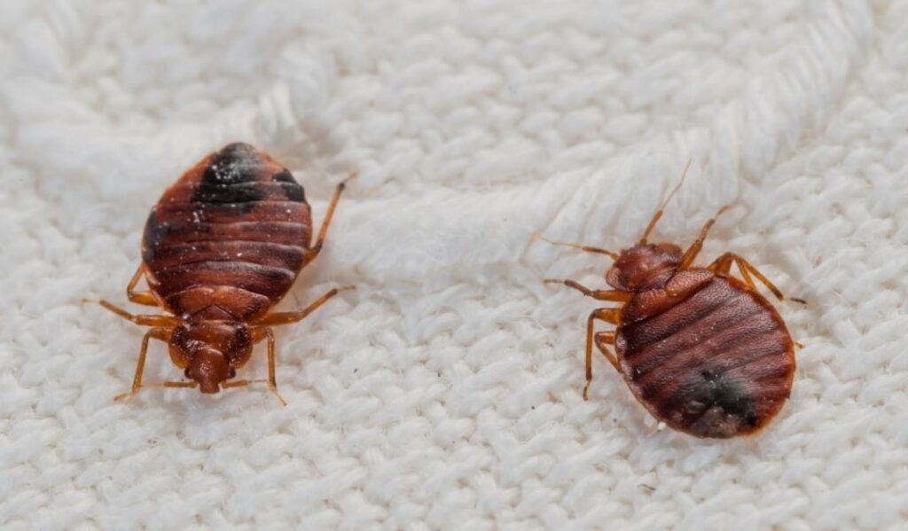 two mature bed bugs resting on a fabric