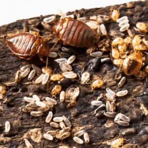 bed bug eggs an image of several eggs