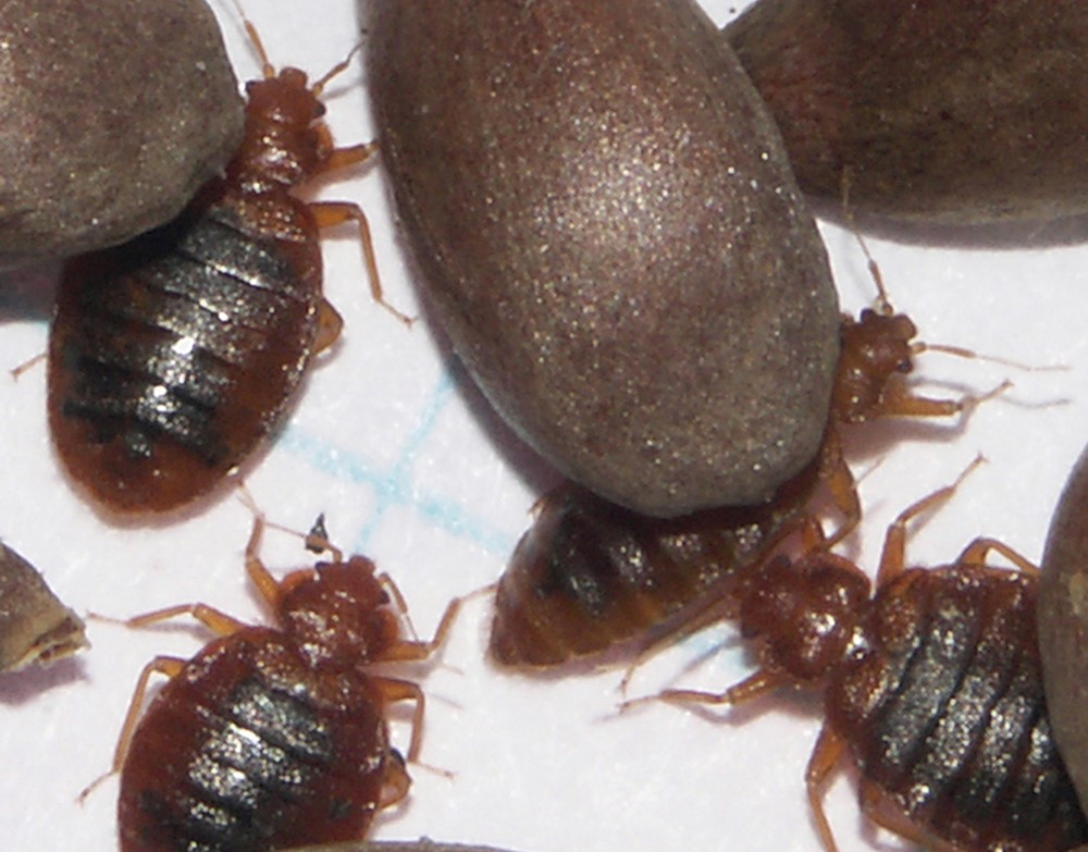 image of what adult bed bugs look like