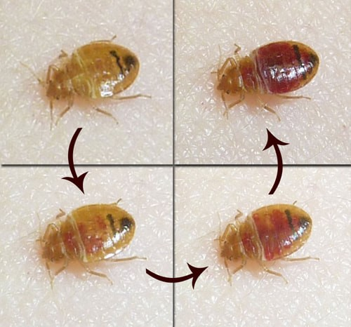 a photo of bed bug cycle