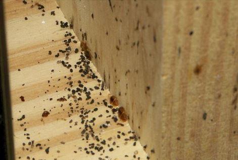 an image of bed bug poop