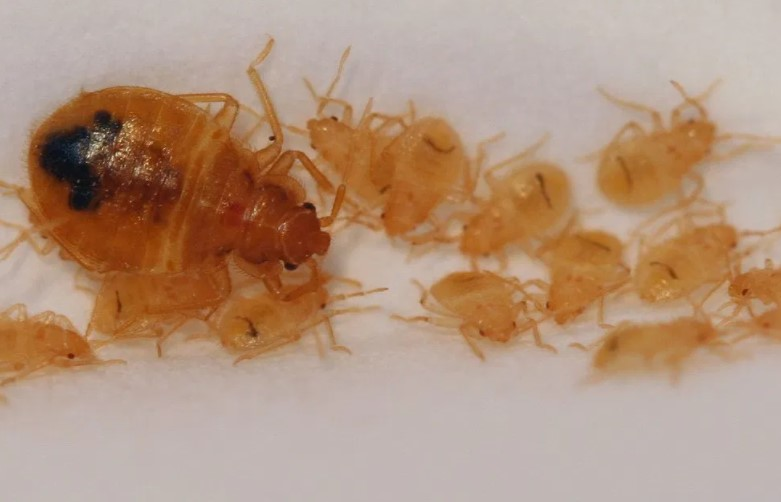a group of young bed bugs in first stage of development