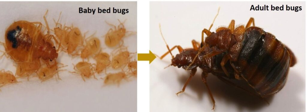 an image of baby bed bugs vs. adult bed bugs