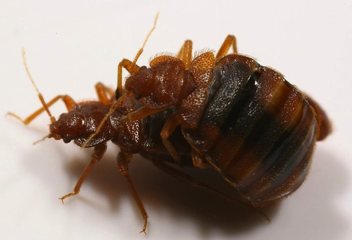 adult female bed bug like this can lay 7 eggs per week and hatch young bed bugs laters