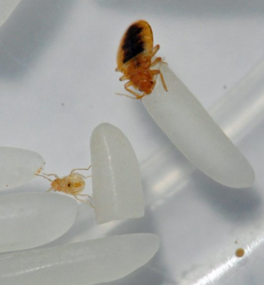 slightly fed young bed bug in second stage of development next to bed bug eggs