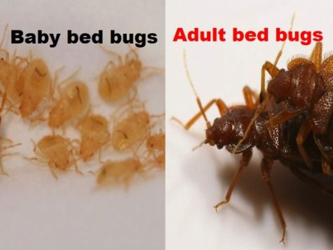 young bed bug pictures