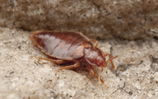 bat bug looks quite similar to bed bug