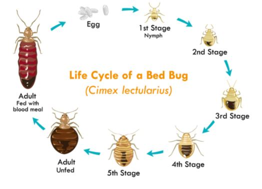 an illustration of life cycle of bed bugs